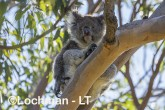 Koala AGD-916 ©Marie Lochman - Lochman LT