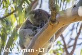 Koala AGD-917 ©Marie Lochman - Lochman LT