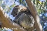 Koala AGD-918 ©Marie Lochman - Lochman LT