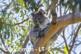 Koala LLR-956 ©Jiri Lochman - Lochman LT