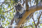 Koala LLR-957 ©Jiri Lochman - Lochman LT