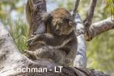 Koala LLR-959 ©Jiri Lochman - Lochman LT