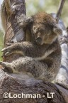 Koala LLR-960 ©Jiri Lochman - Lochman LT