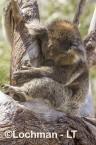 Koala LLR-961 ©Jiri Lochman - Lochman LT