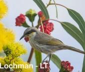 Lichenostomus virescens - Singing Honeyeater LLO-593 ©Jiri Lochman - Lochman LT
