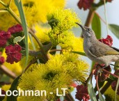 Lichmera indistica - Brown Honeyeater LLP-789 ©Jiri Lochman - Lochman LT