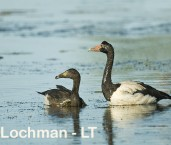 Magpie Geese with chicks LLG-672 ©  Lochman Transparencies