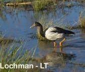 Magpie Goose LLG-684 ©  Lochman Transparencies