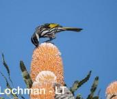 Phylidonyris nigra - White-cheeked Honeyeater LLO-428 ©Jiri Lochman - Lochman LT