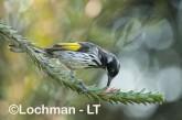 Phylidonyris novaehollandidae - New Holland Honeyeater LLO-430 ©Jiri Lochman - Lochman LT