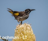 Phylidonyris novaehollandidae - New Holland Honeyeater LLP-798 ©Jiri Lochman - Lochman LT