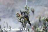 Phylidonyris novaehollandidae - New Holland Honeyeater LLP-805 ©Jiri Lochman - Lochman LT
