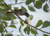 Phylidonyris novaehollandidae - New Holland Honeyeater LLP-808 ©Jiri Lochman - Lochman LT