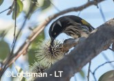 Phylidonyris novaehollandidae - New Holland Honeyeater LLP-809 ©Jiri Lochman - Lochman LT