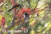 Phylidonyris novaehollandidae - New Holland Honeyeater LLP-810 ©Jiri Lochman - Lochman LT