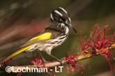 Phylidonyris novaehollandidae - New Holland Honeyeater LLP-814 ©Jiri Lochman - Lochman LT