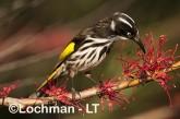 Phylidonyris novaehollandidae - New Holland Honeyeater LLP-815 ©Jiri Lochman - Lochman LT