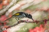 Phylidonyris novaehollandidae - New Holland Honeyeater LLP-821 ©Jiri Lochman - Lochman LT