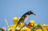 Phylidonyris novaehollandidae - New Holland Honeyeater LLP-825 ©Jiri Lochman - Lochman LT