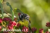 Phylidonyris novaehollandidae - New Holland Honeyeater LLP-827 ©Jiri Lochman - Lochman LT