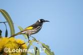 Phylidonyris novaehollandidae - New Holland Honeyeater LLP-832 ©Jiri Lochman - Lochman LT