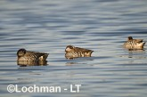 Pink-eared Duck LLH-674 © Lochman Transparencies