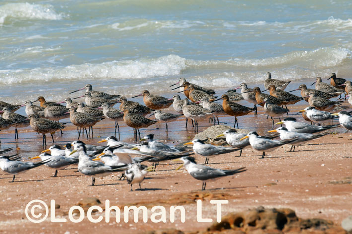 Broome – Roebuck Bay – waders