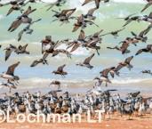 Shore birds at Roebuck Bay LLK-261 © Jiri Lochman LT
