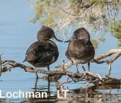 Stictonetta naevosa - Freckled Duck LLP-212 ©Jiri Lochman - Lochman LT