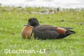 Tadorna tadornoides - Mountain Duck male AGD-935 ©Marie Lochman - Lochman LT