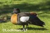 Tadorna tadornoides - Mountain Duck male LLS-063 ©Jiri Lochman - Lochman LT