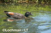 Tadorna tadornoides - Mountain Duck male LLS-077 ©Jiri Lochman - Lochman LT