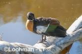 Tadorna tadornoides - Mountain Duck male LLS-085 ©Jiri Lochman - Lochman LT