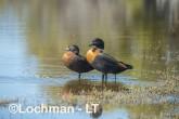 Tadorna tadornoides - Mountain Duck pair LLR-953 ©Jiri Lochman - Lochman LT