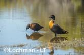 Tadorna tadornoides - Mountain Duck pair LLS-060 ©Jiri Lochman - Lochman LT