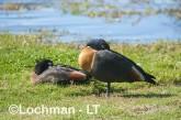 Tadorna tadornoides - Mountain Duck pair LLS-066 ©Jiri Lochman - Lochman LT