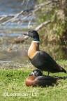 Tadorna tadornoides - Mountain Duck pair LLS-067 ©Jiri Lochman - Lochman LT