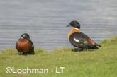 Tadorna tadornoides - Mountain Duck pair LLS-078 ©Jiri Lochman - Lochman LT