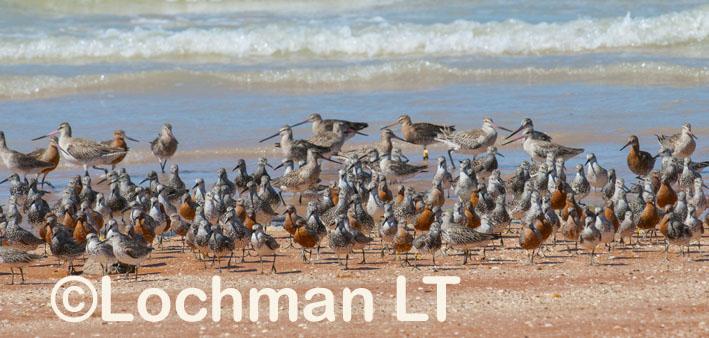 Broome – Roebuck Bay – waders