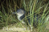 Eudyptula minor - Fairy Penguin KJY-339 ©Jiri Lochman - Lochman LT