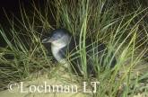Eudyptula minor - Fairy Penguin KJY-344 ©Jiri Lochman - Lochman LT