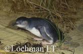 Eudyptula minor - Fairy Penguin KJY-345 ©Jiri Lochman - Lochman LT