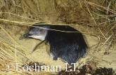 Eudyptula minor - Fairy Penguin KJY-346 ©Jiri Lochman - Lochman LT
