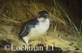 Eudyptula minor - Fairy Penguin KJY-357 ©Jiri Lochman - Lochman LT