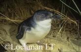 Eudyptula minor - Fairy Penguin KJY-358 ©Jiri Lochman - Lochman LT