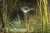 Eudyptula minor - Fairy Penguin KJY-388 ©Jiri Lochman - Lochman LT