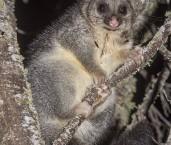 Common Brushtail Possum LLS-528 ©Jiri Lochman - Lochman LT