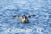 Podiceps cristatus - Great Crested Grebe AHD-220 ©Marie Lochman - Lochman LT