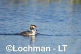 Podiceps cristatus - Great Crested Grebe AHD-221 ©Marie Lochman - Lochman LT