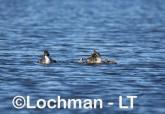 Podiceps cristatus - Great Crested Grebe AHD-223 ©Marie Lochman - Lochman LT